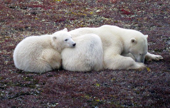 Where To See Polar Bears In Canada?