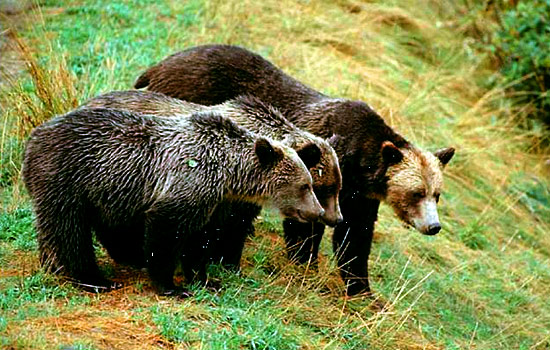 Grizzly bear viewing excursion - Grizzly bear viewing excursion