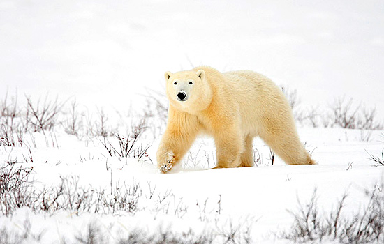 polar bears Churchill - polar bear tours - The joy of these journeys is seeing Polar Bears in their natural habitat.