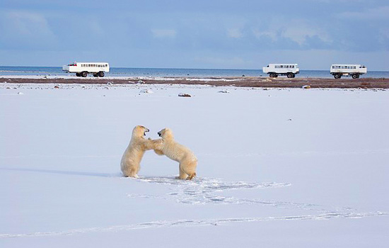 polar bears Churchill - polar bear tours - You'll learn what the different interactions are about from expert naturalists on polar bear tours.