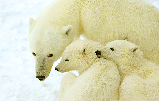 polar bears Churchill - polar bear tours - Naturalists will help you identify the different family groups…