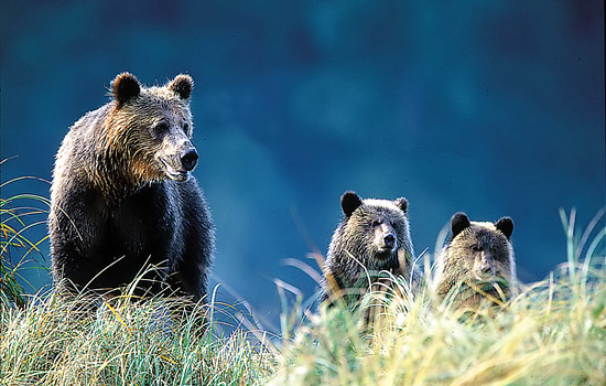 This journey is our ultimate 'bear' Canada vacations journey - and possibly North America's best safari!