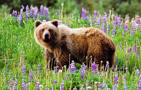 See magnificent grizzly bears with our local guides in Prince Rupert.